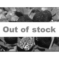 Fresh Brumale truffle 100 gr. (Tuber brumale Vitt.)